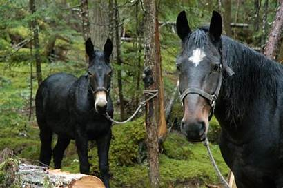 Horse Mule Vs Hunting Mountain Breeds Which