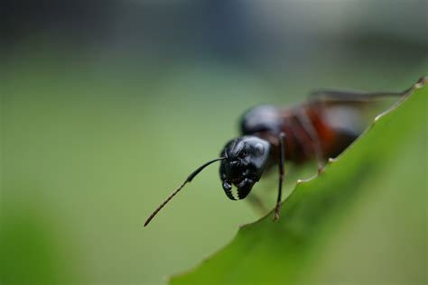 carpenter ants carpenter ant management yes pest pros