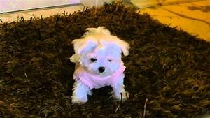 the maltese is a small breed of in the