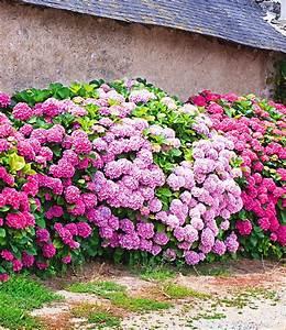 Blühende Kletterpflanzen Winterhart Mehrjährig : freiland hortensien hecke pink ros 1a qualit t baldur ~ Michelbontemps.com Haus und Dekorationen