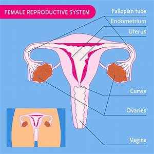 Best Uterus Diagram Illustrations  Royalty