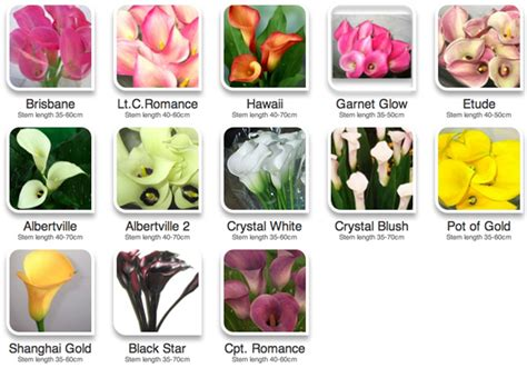 calla colors color guide to calla lilies flirty fleurs the florist