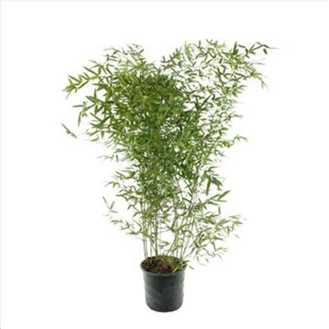bambou phyllostachys bissetii en pot bambou phyllostachys bissetii croissance pivoine etc