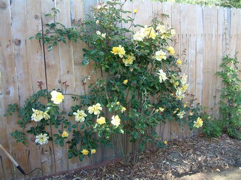 Golden Showers Rosa Climbing Golden Showers