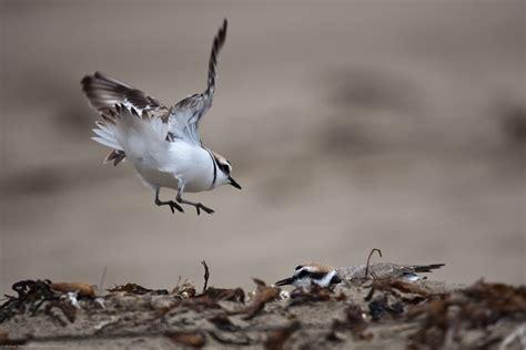 File:Western Snowy Plover (Charadrius nivosus) landing ...