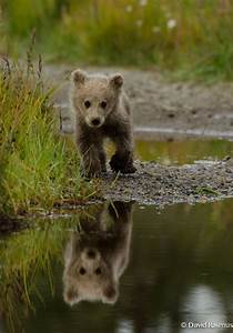 Brown bears, Bears and Bear cubs on Pinterest
