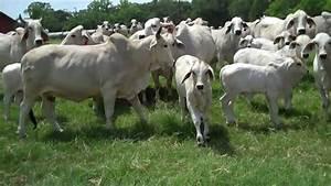 Brahman or Brahma cattle - YouTube