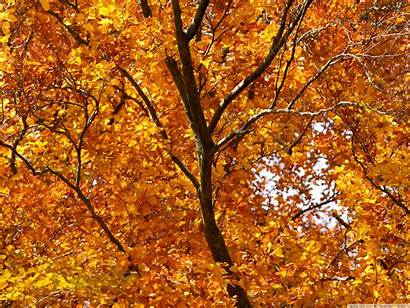 Foliage Autumn Yellow Standard