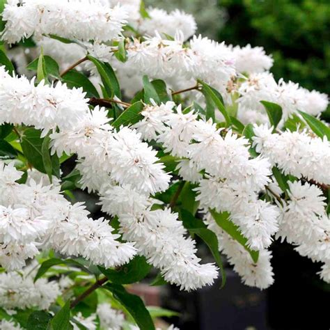 white flowering shrubs deutzia scabra plants trees and shrubs gardening suttons seeds and plants trees and