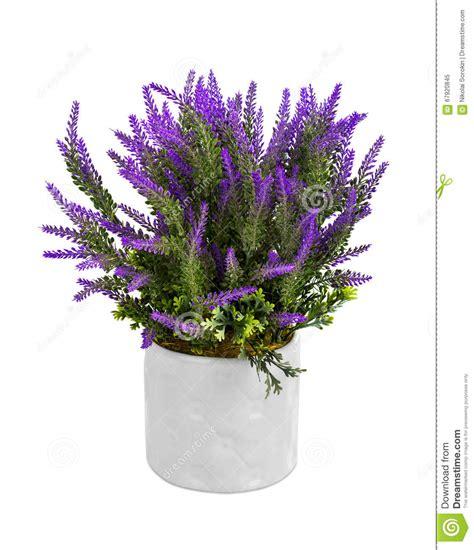 lavanda in vaso lavanda in vaso immagine stock immagine di herbal