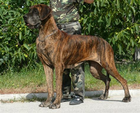 nemet dog deutsche dogge kutya tar