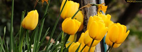 yellow tulips facebook cover