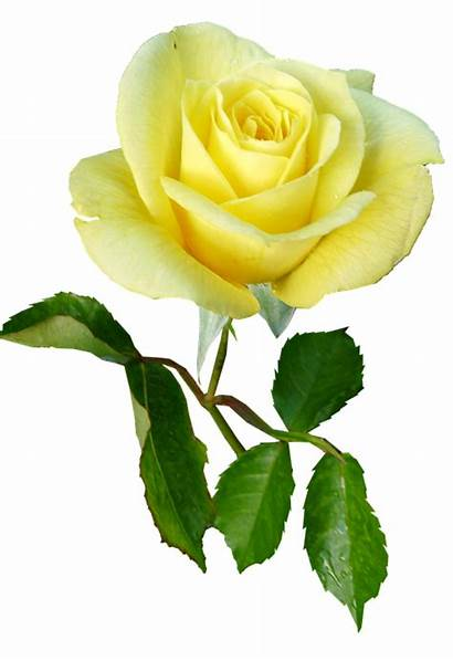 Rose Stem Yellow Single Flower Pixel Max