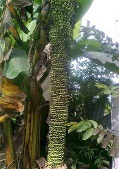 buah tanaman unik