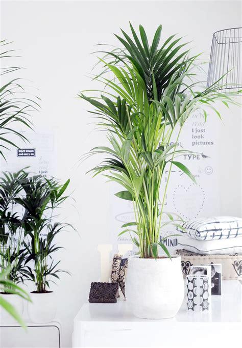 Zimmerpflanzen Portraet Schraubenbaum by Zimmerpflanzen Portr 228 T Kentia Palme Kentiapalme In 2019