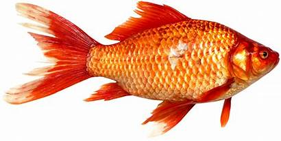 Fish Orange Fishing Transparent Background Freeiconspng