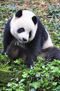 Giant Panda Bear Cub | Love these animals | Pinterest
