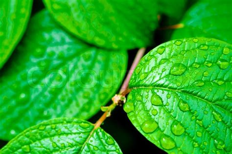green bright leaves  rain drops nature backgrounds