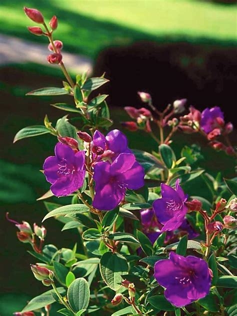 princess flower glory bush hgtv