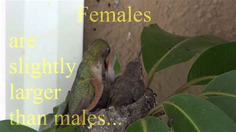 lifespan of a hummingbird baby hummingbirds life cycle from start to finish must see awesome youtube