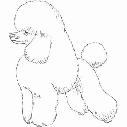 Poodle Drawing Dog Breeds Dogs Breed Drawings