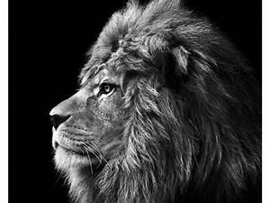 Schwarz Weiß Kontrast : stilvolle lion bilder mit ausdrucksstarken motiven ~ Frokenaadalensverden.com Haus und Dekorationen