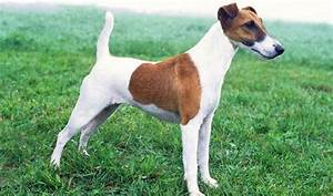Dog Breed Exercise Chart Smooth Fox Terrier Fun Facts And Crate Size Pet Crates