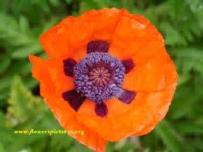 poppy flower picture red poppy pictures pictures of red poppies flowers