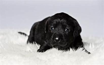 Labrador Retriever Lab Welpen Adorable Golden Puppies