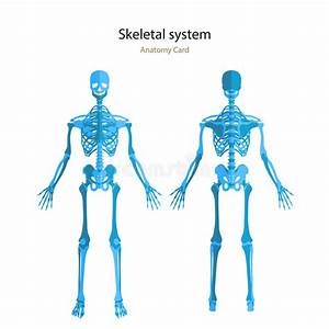 Anatomy Guide Of Human Skeleton  Anatomy Didactic Board Of