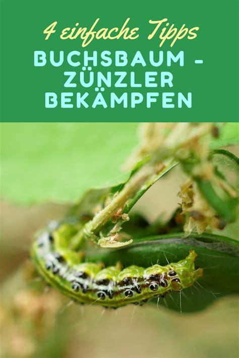 Im Buchsbaum Bekämpfen by 4 Wirksame Tipps Gegen Buchsbaum Raupen Buchsbaumz 252 Nsler