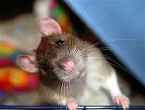 Ratten Im Kompost : rattenbek mpfung durch ultraschall ~ Lizthompson.info Haus und Dekorationen