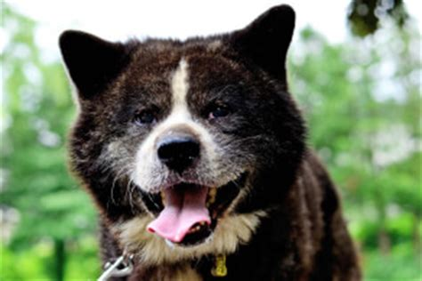 akita dog breed 187 information pictures more