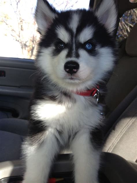 175 Best Huskies Images On Pinterest Husky Husky Dog