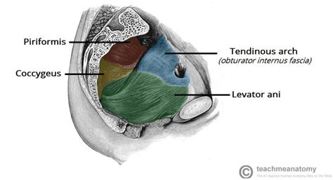 muscles of the pelvic floor the pelvic floor structure function muscles