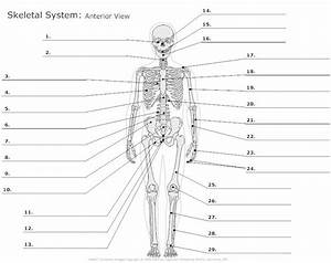 Anatomy Skeletal System Labeling Quiz Anatomy Skeletal
