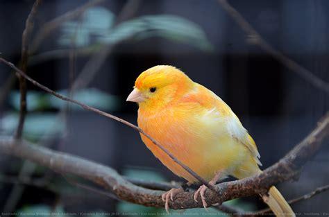 orange canary bird by kusilinda on deviantart