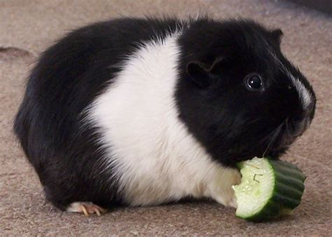 ginnie pig which guinea pig run