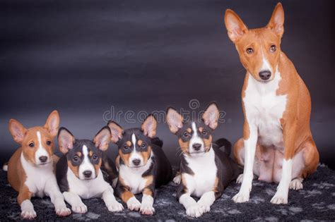 Little Basenji Puppies With Mother On Black Stock Photo