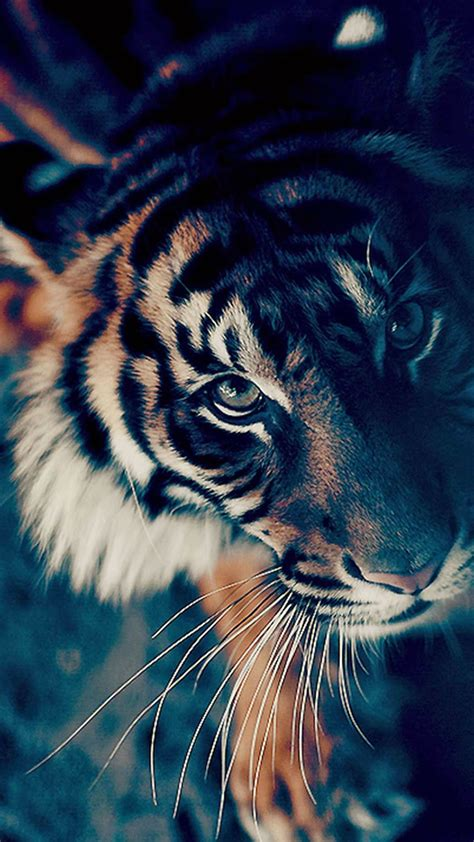 Black tiger wallpaper wallpapers we have about (3,243) wallpapers in (1/109) pages. Animated Tiger Wallpaper (56+ images)