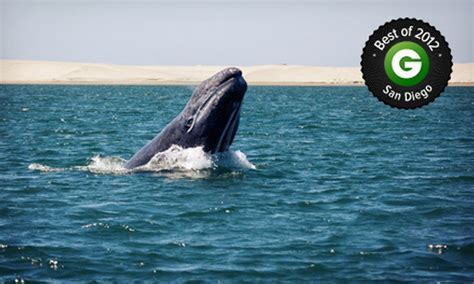 San Diego Boat Tours Groupon by Whale Tour San Diego Whale Groupon