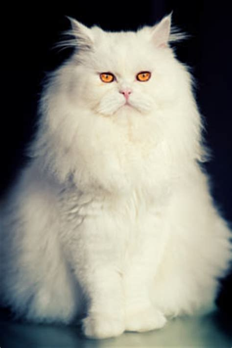 persian cats  interview  fancy cat