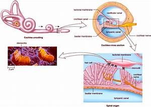 Sense Of Hearing  Anatomy Of The Human Ear