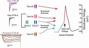 Contribution Of Sodium Channel Isoforms To Action