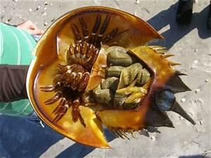 Atlantic Horseshoe Crab (Limulus polyphemus): A True Blue ...