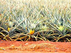 The Dole Plantation; The Pineapple Express; How pineapples ...