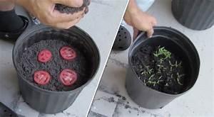 Planter Des Graines De Tomates : voici la technique la plus simple au monde pour faire ~ Dailycaller-alerts.com Idées de Décoration
