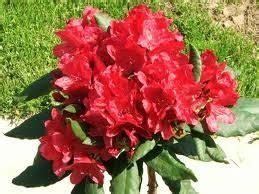 Rhododendron ''Nova Zembla'' (RODODENDRS) - Rododendri un ...