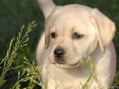 Lab Yellow Wallpapers Puppy