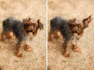 Pin Teacup-yorkie-maltese-mix -image-search-results on ...